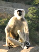 Grey Langur, Kanha National Park